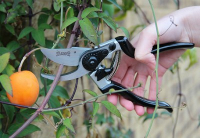 WSRazorcut Pro Angled Head Bypass Pruner in action